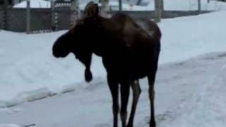 moose falling on face