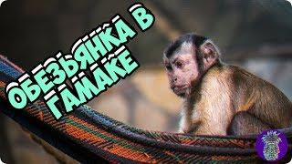 ОБЕЗЬЯНА В ГАМАКЕ   Ананас TV   # 47