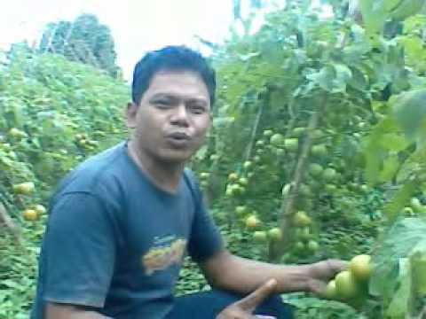 Video Teknik menanam tomat