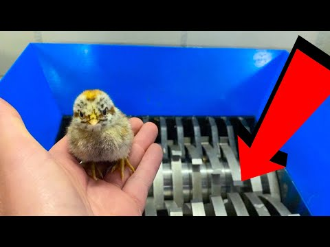 CUTE BABY CHICKEN VS SHREDDER EXPERIMENT