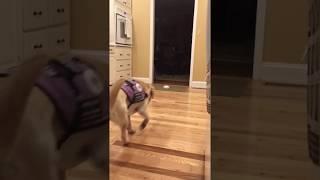 Diabetic Alert Dog Dialing 911