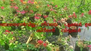 ബൊഗൈൻവില്ല നിറയെ  പൂവിടാൻ  വേണ്ട  Tips/ Flowering  Hiden Tips Of Bogainvillea