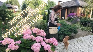 Укрытие Крупнолистовой Гортензии / Сад Людмилы Кудасовой