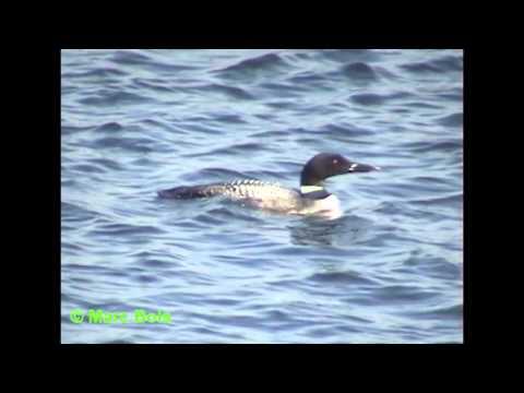 , title : 'Plongeon huard 2/Common Loon