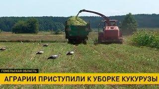 Уборку кукурузы начали в Гомельской области