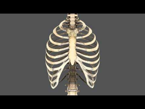 Caja torácica y músculos respiratorios