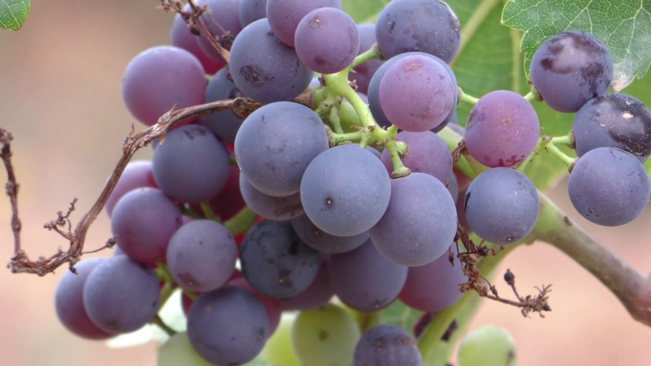 Como hacer un gran vino. Capítulo 3 de 8| Javier Romero