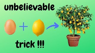 ☑️ φύτεμα λεμονιάς - lemon planting - how to - 🍋 - unbelievable trick 🌳