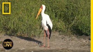 Safari Live - Day 308   National Geographic