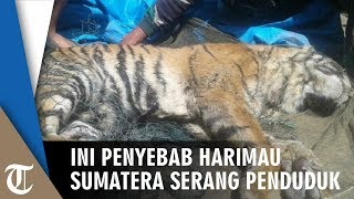 Ini Penyebab Harimau Sumatera Serang Warga
