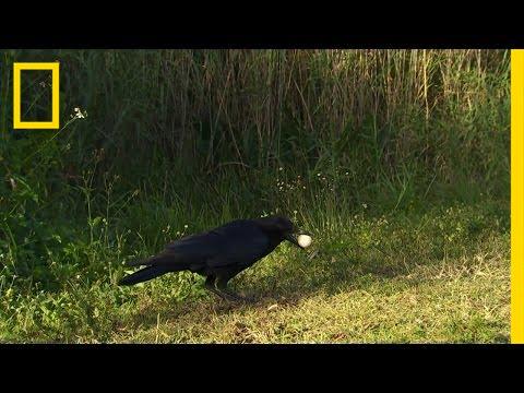 Everglades Egg Bandit | America's National Parks thumbnail