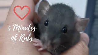 5 minutes of cute pet rat videos to brighten your day