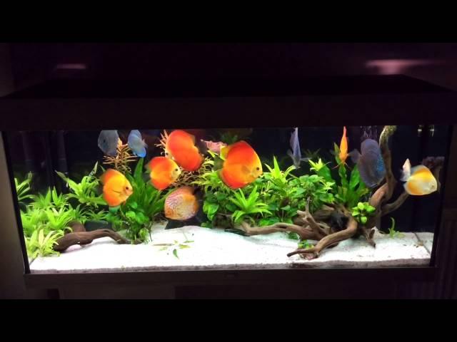 Planted discus tank - Juwel Rio 240L
