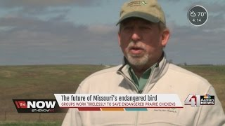 Prairie chicken loses federal endangered species protection