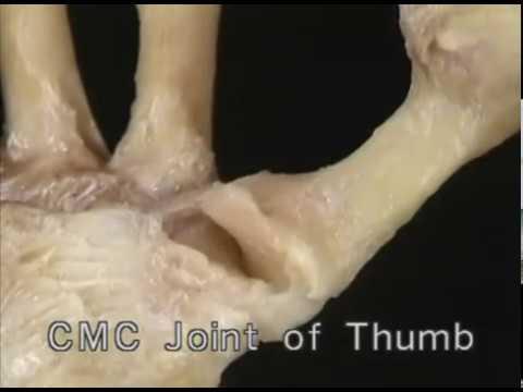 1.3.4 кости и суставы большого пальца (3.06)