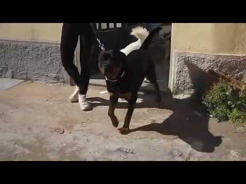 Rottweiler e Pit Bull impossibile gestirli