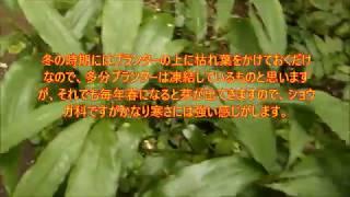 (有用植物)ミョウガ