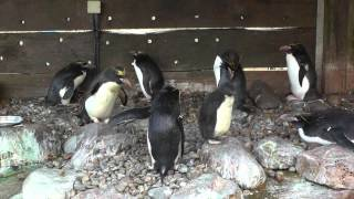 Macaroni Penguins And Penguin Chicks, Living Coasts (11th July 2014)