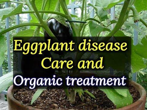 , title : 'Eggplant disease and cure, eggplant disease control