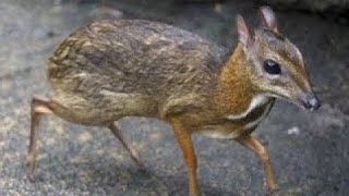 World's Smallest  Deer In The World !
