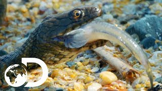 Deadly Swimming Snake Hunts Underwater For Fish | Wildest Europe