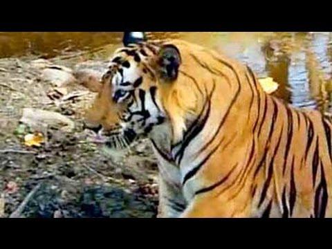 Safari India: Tigers of Bandhavgarh Nati