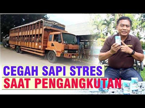 CEGAH SAPI STRES SAAT PENGANGKUTAN