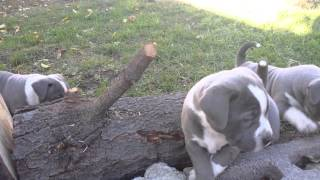 Gotti pitbull puppies