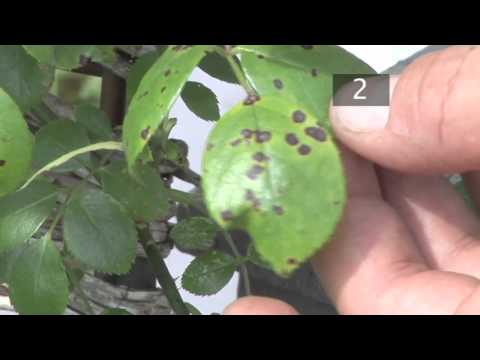 Video How To Prevent Black Spots on Plants