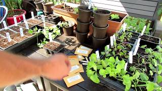Starting & Planting Your Fall Lettuce & Pea Container Garden: Cool Weather Vegetables!