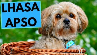 Lhasa Apso Dog Breed - Facts And Information