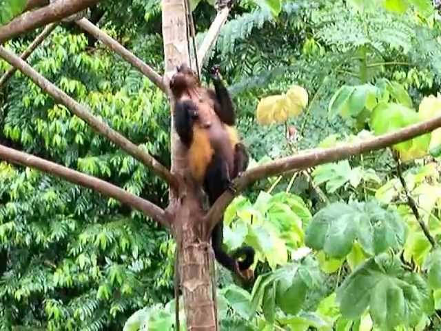 Play the Monkey Music at The Lattice House Vacation Villa in Dominical Costa Rica