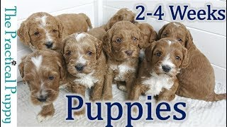 Watching Puppy Grow from 2 to 4 Weeks