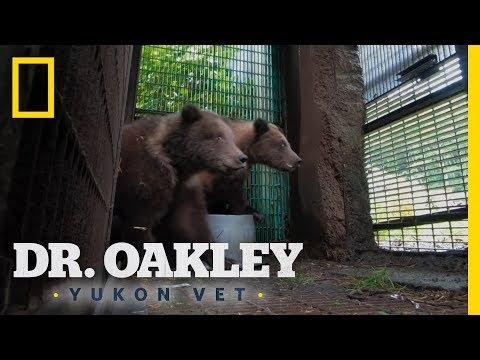 Orphaned Bear Cubs Get a Second Chance | Dr. Oakley, Yukon Vet