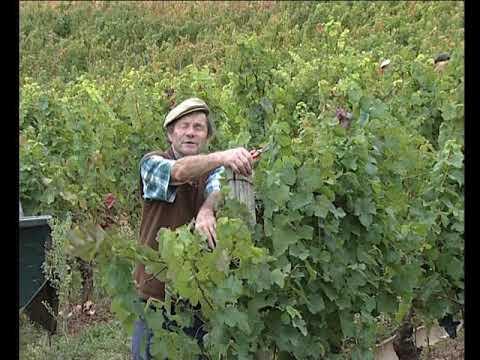 Sofrar e sulfatar la vinha