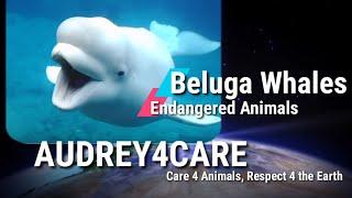 Beluga Whales   Endangered Animals   Best Environmetal Science