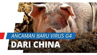 Corona Belum Mereda, Kini Datang Ancaman Flu G4 dari China yang Bisa Jadi Pandemi Baru