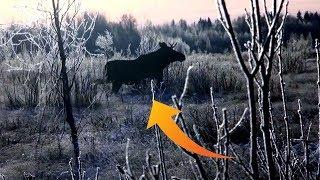 Охота на лося тверская область. Нужно ли было брать лося?