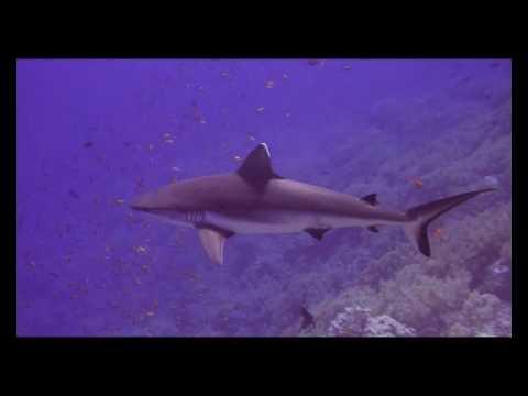 Grauhai mit lästigem Putzerfisch, Little Brother Island,Ägypten