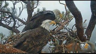 Camera Keeps Close Watch On Bald Eagles In Big Bear