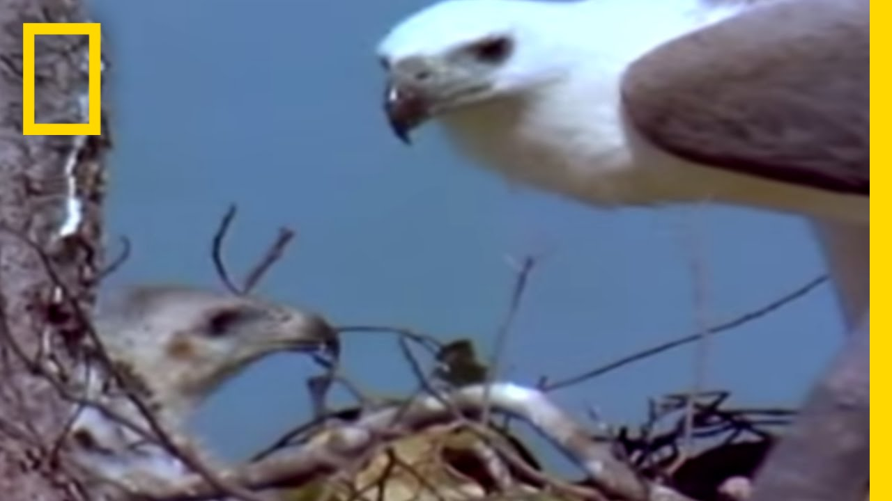 Eagle vs. Eagle in Mid-Air | National Geographic thumbnail
