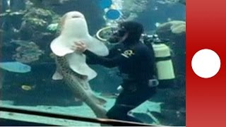 Friendly shark receives hugs and belly rubs from aquarium keeper