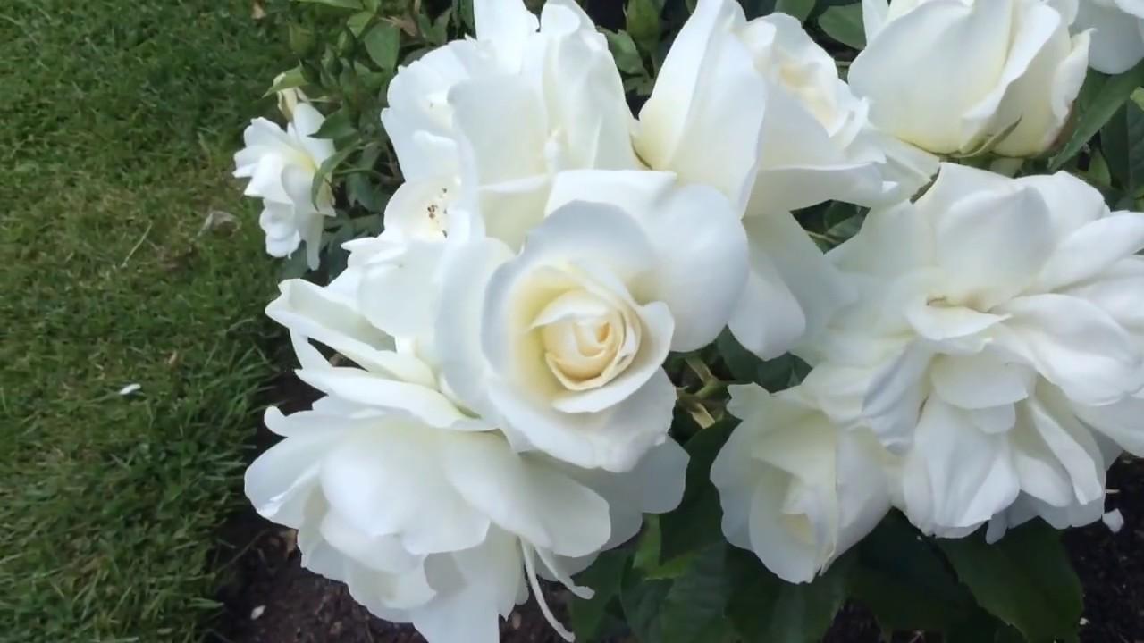 Rosa Iceberg Floribunda White Rose Flowers In Garden #rosa #iceberg #floribunda #worldgardeners