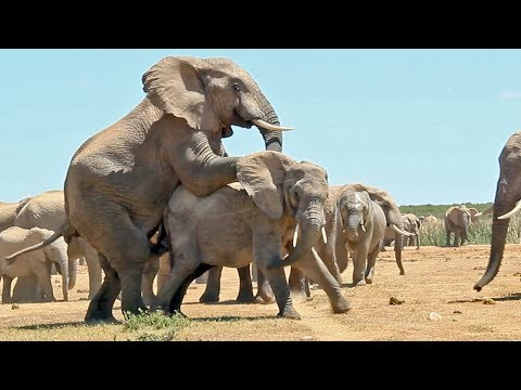 Mating Elephants