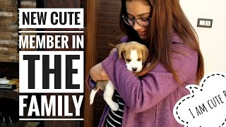 Beagle Puppy In The House, A Cute New Family Member