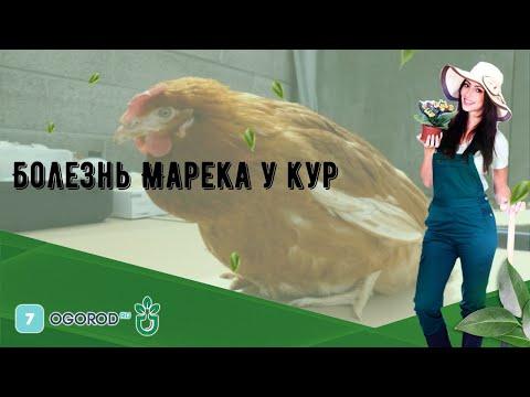 Болезнь Марека у кур