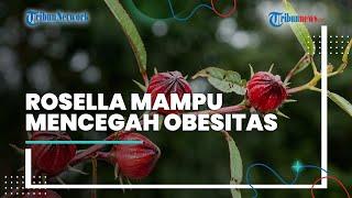 Selain Dapat Menurunkan Kolesterol Jahat Dalam Tubuh, Bunga Rosella Mampu Mencegah Obesitas