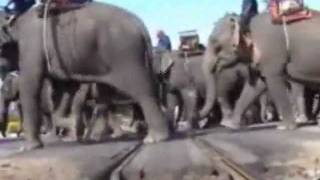 preview picture of video 'Elephant Roundup Surin Thailand 2006-1 flv'