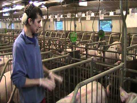 , title : 'Искусственное осеменение свиней = Дания