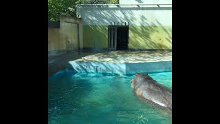 Hippopotamus playing in the sun